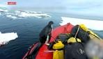 Merakına yenilen sevimli penguenin bota yaptığı ani baskın