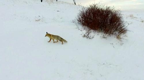 Karda yiyecek arayan tilki drone ile görüntüledi