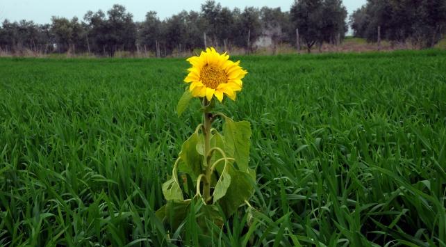 Osmaniyede ayçiçeği erken açtı