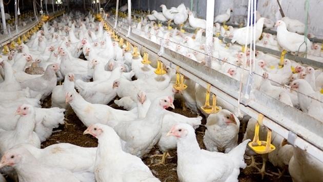 TÜİK açıkladı: Tavuk eti ve yumurta üretimi arttı
