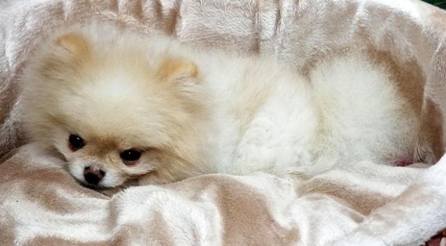 Pomeranian boo cinsi Büyümeyen köpeği satışa çıkardı
