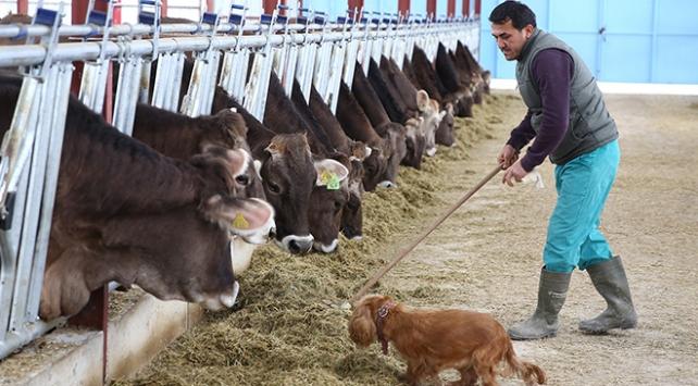 Almanya'dan getirdiği 65 inekle çiftlik kurdu