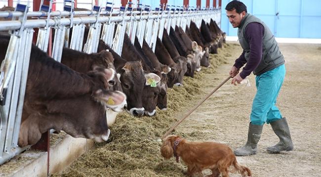 Almanyadan getirdiği 65 inekle çiftlik kurdu