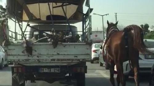 Kamyona bağladığı atı şehir merkezinde koşturdu
