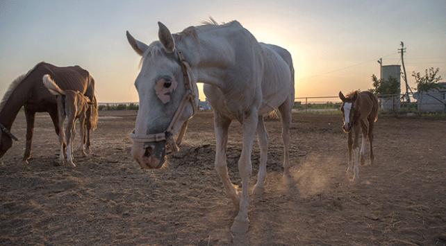 At ve eşeklere kimlik geliyor