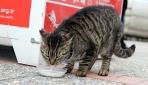 Sevimli kedi 4 yıldır süt almak için sıraya giriyor