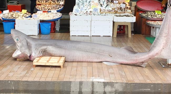 Balıkesirde 300 kilo ağırlığında köpek balığı yakalandı