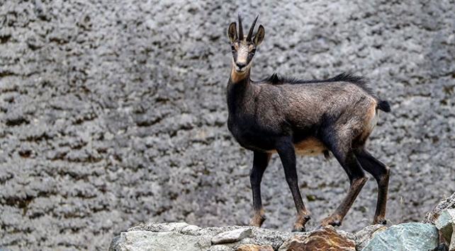 Çengel boynuzlu dağ keçilerinin sayısı 60a çıktı