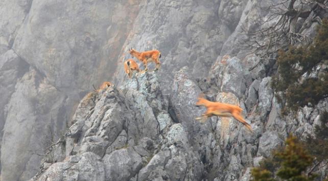 Torosların cesur sakinleri görüntülendi
