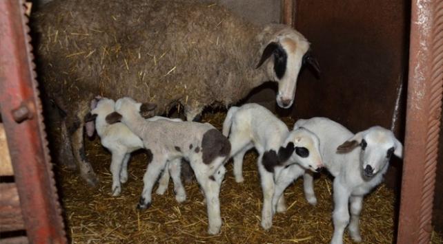 Tekirdağda bir koyun beşiz doğurdu
