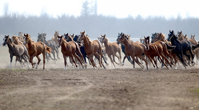 Malatyada 153 yıllık çiftlikte safkan Arap atları yetiştiriliyor