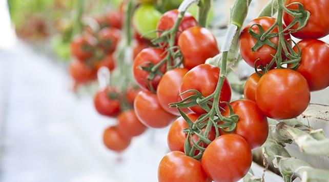 Termal serada üretilen domatesler Avrupa yolcusu