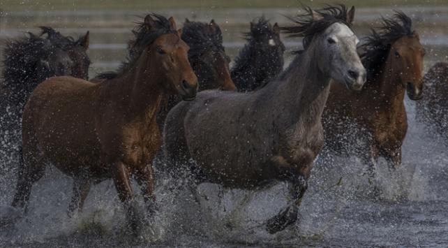 Yılkı atlarını fotoğraflamak için Türkiyenin dört bir yanından geliyorlar