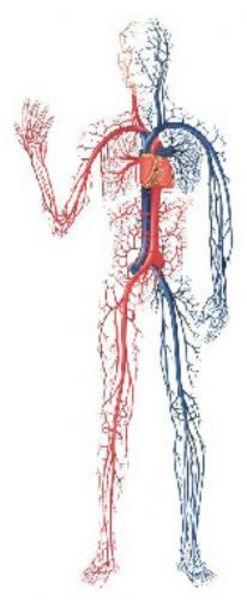 İnsan vücudundaki damarların uzunluğu yaklaşık 96 bin kilometre