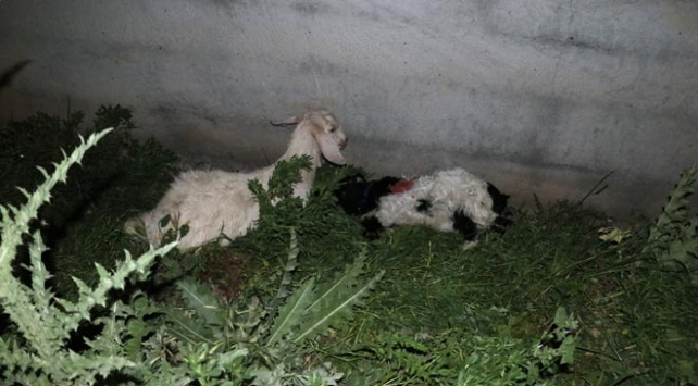 Adanada sokak köpekleri keçi sürüsüne saldırdı