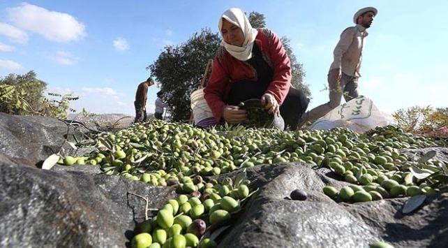 Türkiyenin zeytin üretiminde hedefi dünya liderliği