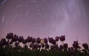 Lale tarlaları geceleri ışık saçıyor