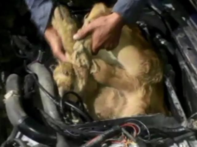 Otomobilin motorunda iki canlı dana ele geçirildi