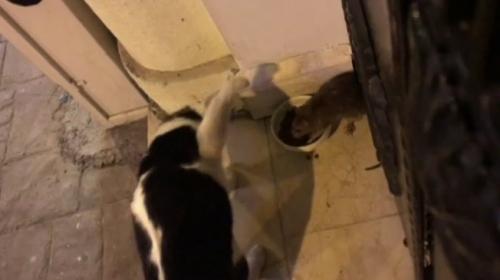 Korkusuz fare kedi maması için kediye kafa tuttu