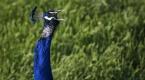 Tavus kuşları köyün ilgi odağı oldu