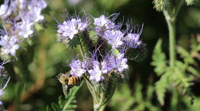 Arı otu bitkisiyle, arı sayısı ve bal üretiminde artış bekleniyor