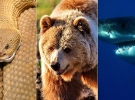 Çıngıraklı yılan, ayı, köpek balığı saldırılarından kurtuldu