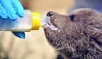 Yavru ayılar, kefir, bal ve bebek mamasıyla besleniyor