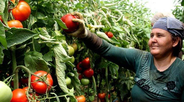Rusyanın kararı domates üreticisinin yüzünü güldürdü