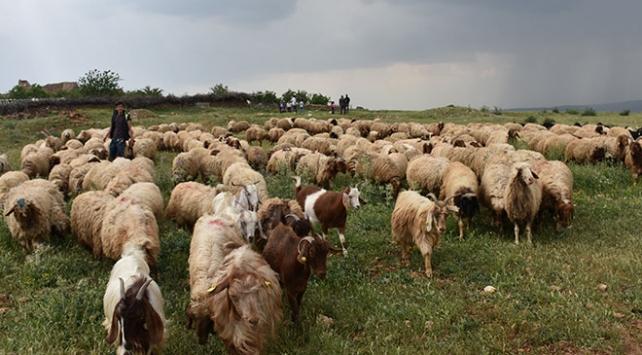 """""""300 koyun projesi"""" besiciye can suyu oldu"""