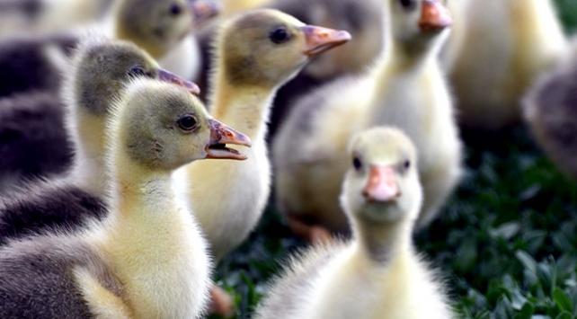 Karsta kazların ilk yavruları meraya çıkarıldı