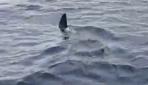 Bodrumda dev köpek balığı görüntülendi