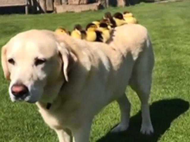 İngilterede bir köpek 9 ördeği sahiplendi