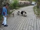Sayaç okuma görevlisi, hindilerin saldırısına uğradı