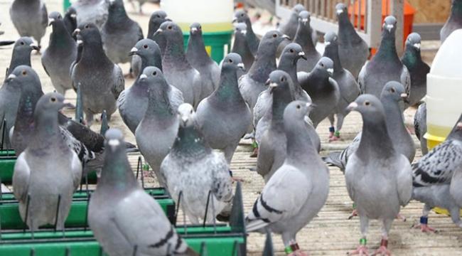 """Edirnede posta güvercinleri yarışa """"bebek gibi"""" bakılarak hazırlanıyor"""