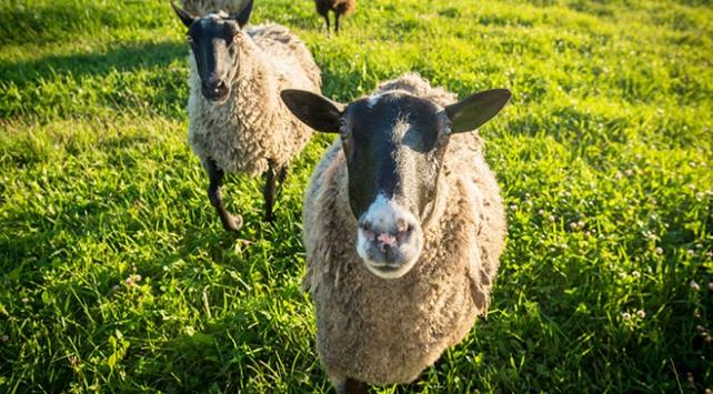 Romada çimleri koyunlar biçecek
