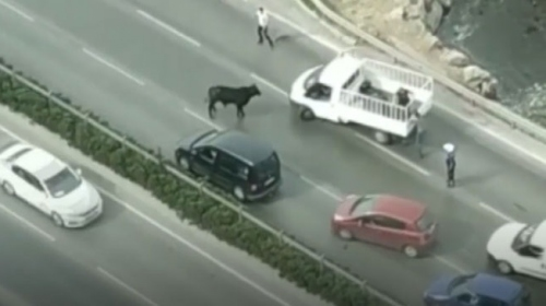 Limandan kaçan sığır trafiği birbirine kattı
