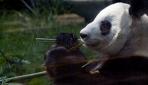 Meksikalı pandalar, yaş rekoru kırıyor