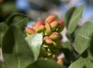Mayıs yağışları Antep fıstığının rekoltesini yükseltecek