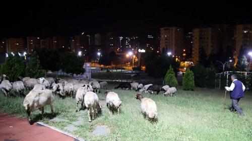 Kaçan koyunlar parkta otlarken bulundu