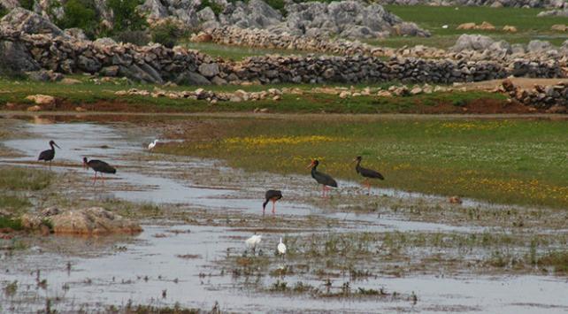 Nadir görülen kara leylekler Beyşehir Gölünde fotoğraflandı
