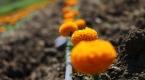 Osmaniye, kesme çiçek sektörüne iddialı hazırlanıyor