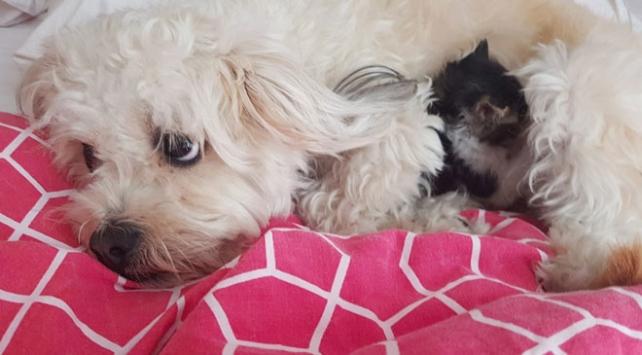 Köpek, bir aylık yavru kediye annelik yapıyor