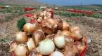 Kırıkhanlı soğan üreticisi fiyatlardan memnun