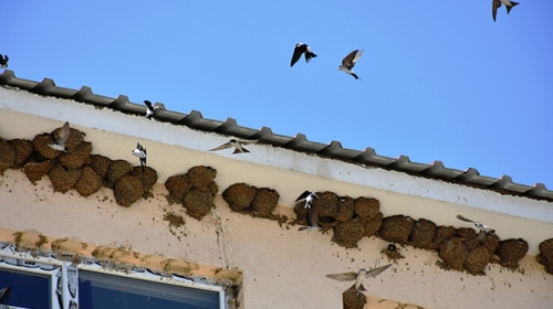 Muşta okula yuva kuran kırlangıçlar ilgi odağı oldu