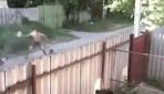 İki pitbull köpeği adama böyle saldırdı