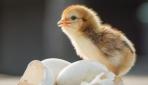 Bozuk sanılarak çöpe atılan yumurtalardan civciv çıktı