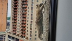 ABDde bir rakun 23 katlı gökdelene tırmandı