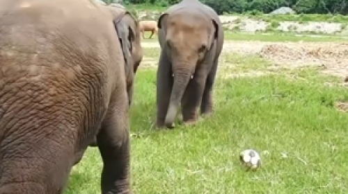 Bebek filler arasında futbol maçı