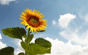 """""""Doğanın sarı gelini"""" çiçek açıyor"""