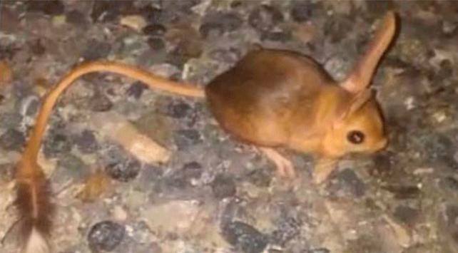 Elazığda kanguru faresi görüntülendi